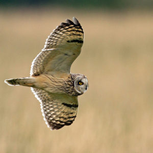 Short-Eared-Owl,-hunting