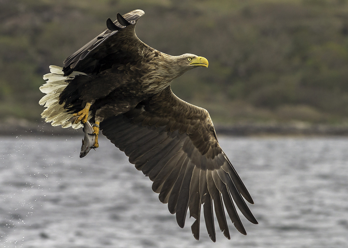 White Tailed Eagle, Photography Workshop on Mull