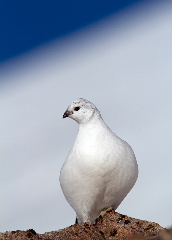 Ptarmigan in Scotland