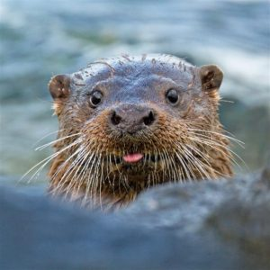 "The otter that won Marcus the ""2011 Scottish Photographer Of The Year"" award."