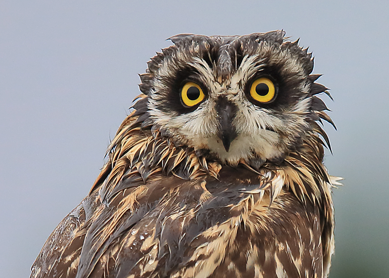 Short Eared Owl Photography