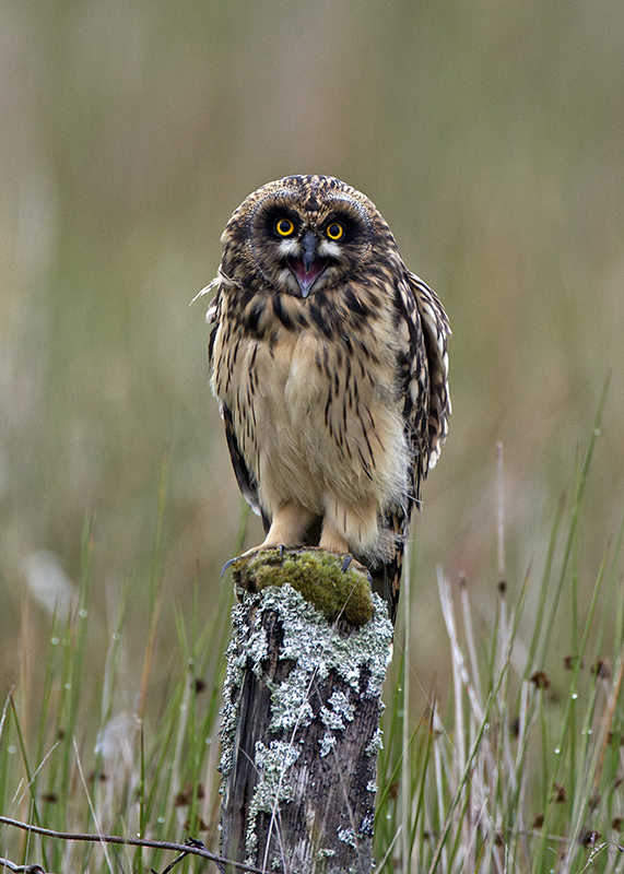 Short Eared Owl Outer Hebrides